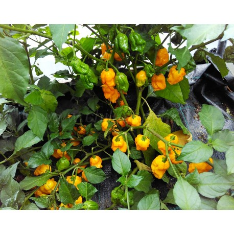 7 Pot Primo Orange  - sazenice