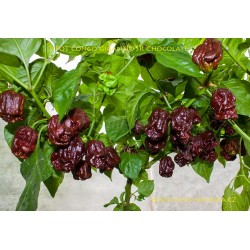 7 Pot Congo Gigantic SR Chocolate - semena